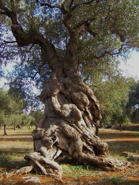 Foto: albero secolare di ulivo