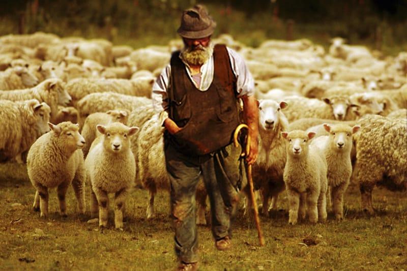 Pastore, pecore, gregge