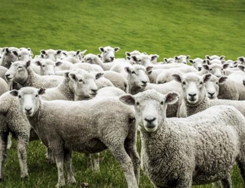 «come pecore che non hanno pastore»